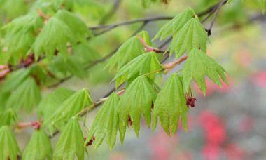 Acer japonicum 'Vitifolium', Full Moon Maple 'Vitifolium', Fern-Leaf Maple 'Vitifolium', Downy Japanese Maple 'Vitifolium', Acer palmatum 'Vitifolium', Japanese Maples, Fall Color #japanesemaple