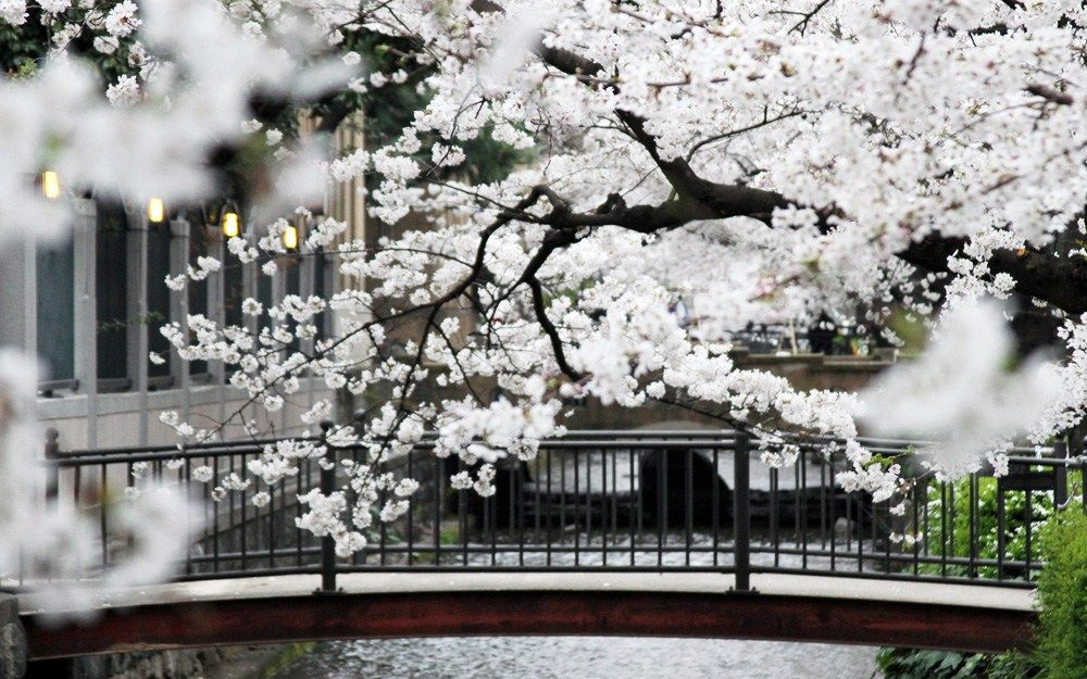 Spring In Japan 2019 When And Where To See The Cherry Blossoms Cherry Blossom Japan Sakura Cherry Blossom Cherry Blossom