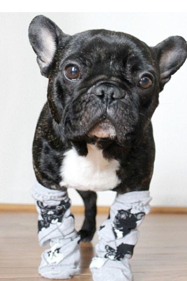 Sockies French Bulldog French Bulldog Cute Dogs Bulldog
