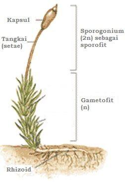 Struktur Tumbuhan Lumut Bryophyta