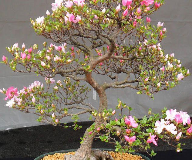 Cherry Blossom Bonsai Seeds Bonsai Seeds Bonsai Tree Bonsai