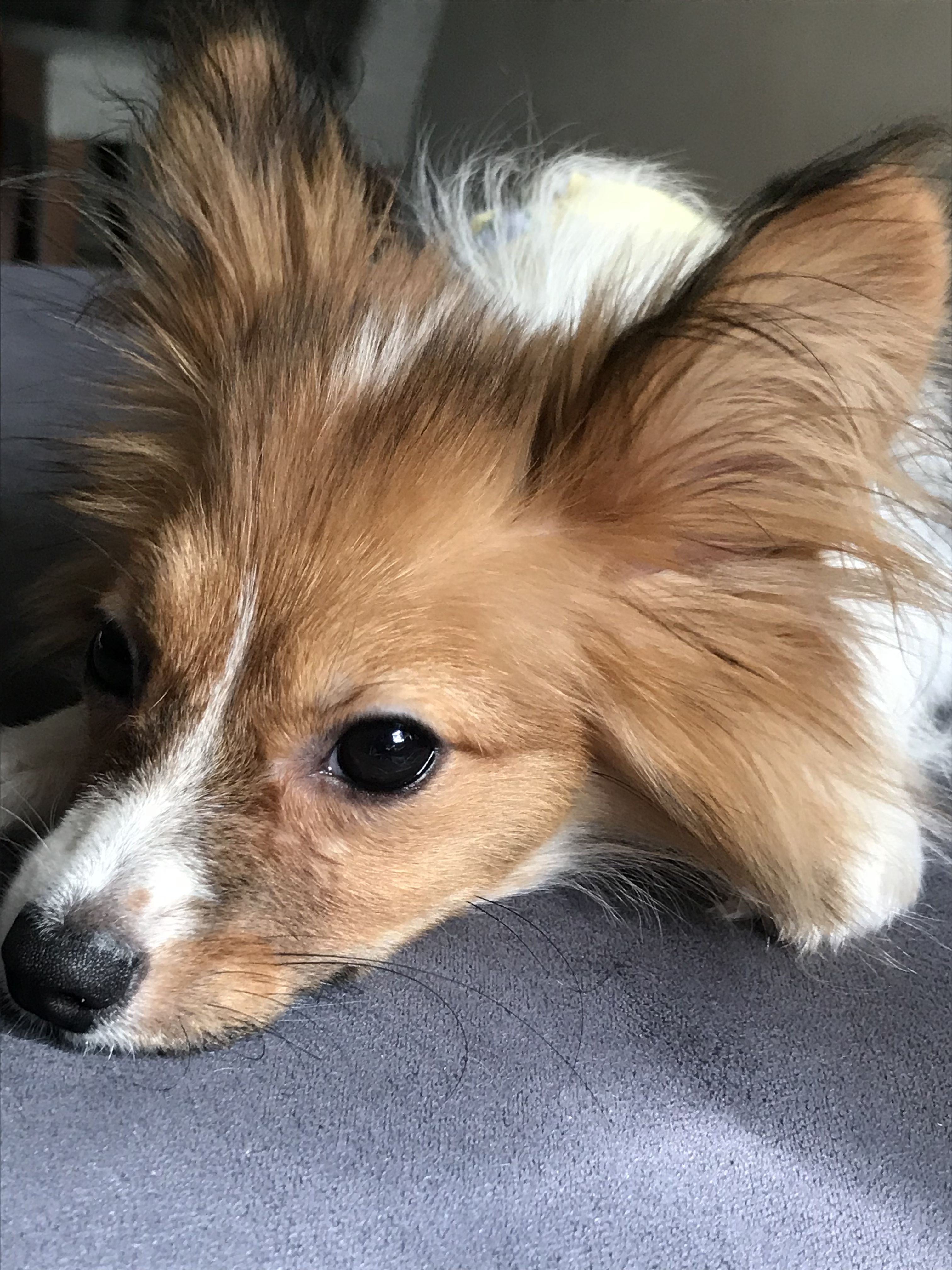 florida papillon puppies for sale in south florida