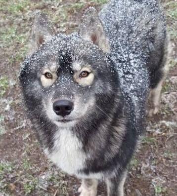 Very Unique Husky | Siberian husky puppies, Husky, Husky puppy