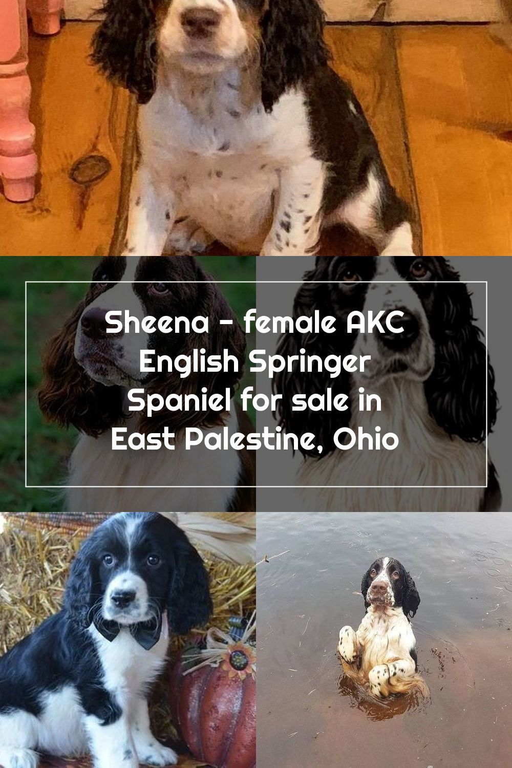 Meet Sheena Female Akc English Springer Spaniel For Sale In East Palestine In 2020 English Springer Spaniel Puppy English Springer Spaniel Springer Spaniel For Sale