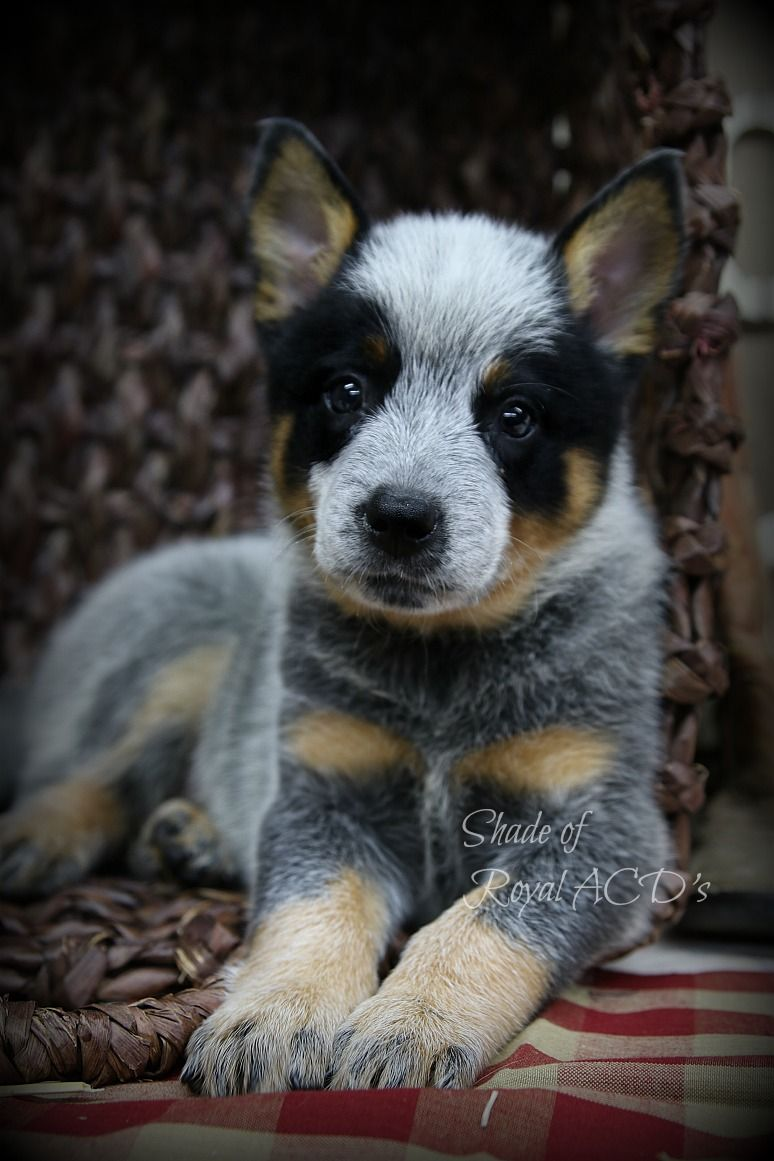 Pin By Jessica Fowler Cortez On Heelers Heeler Puppies