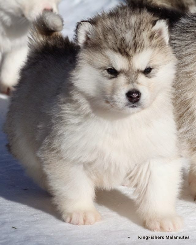 Wonderful Alaskan Malamute Chubby Adorable Dog - d54d53145927847905c2ec7c97fe57d6  You Should Have_764362  .jpg