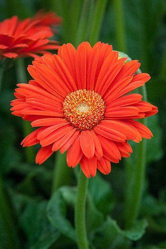 Gerbera Sweet Glow Perennials Gerbera Red Flowers
