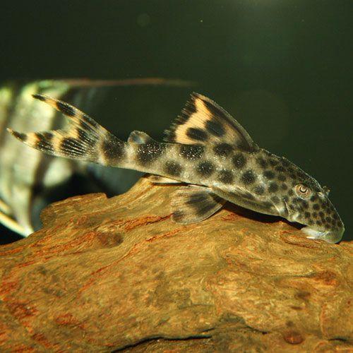 L075 Para Pleco Pleco Fish Beautiful Fish Aquarium Fish