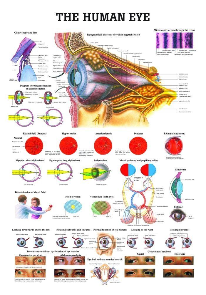 The Human Eye Laminated Anatomy Chart | Pinterest | Human eye ...