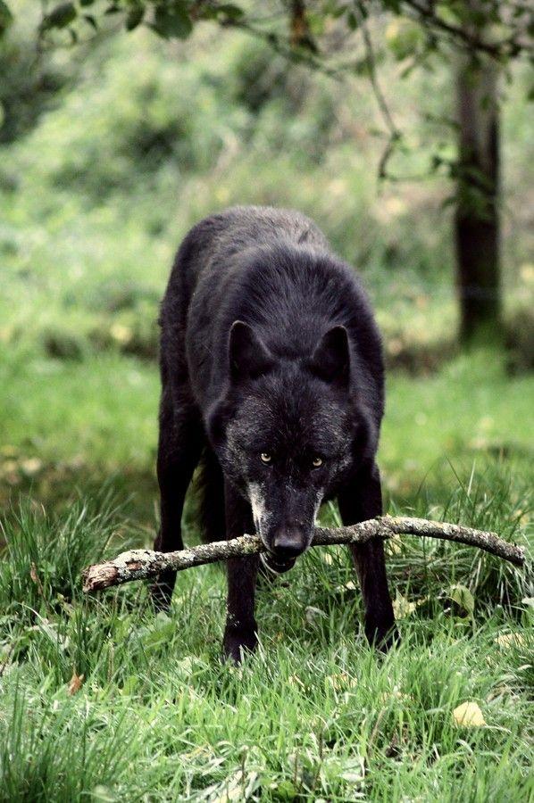 Black Wolf by Schneider  Marie on 500px