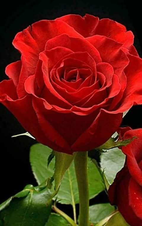Pin De Maria Heroina Em Bau Rosas Vermelhas Rosas Lindas Rosas