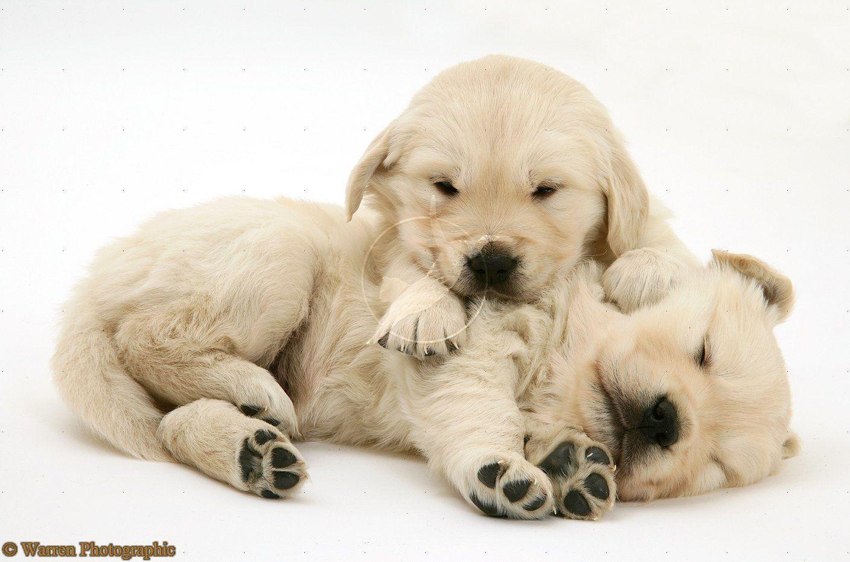 White golden retriever puppies colorado