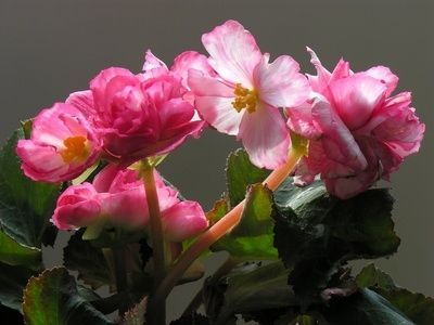 How To Care For Rieger Begonias Flowers Begonia Plants