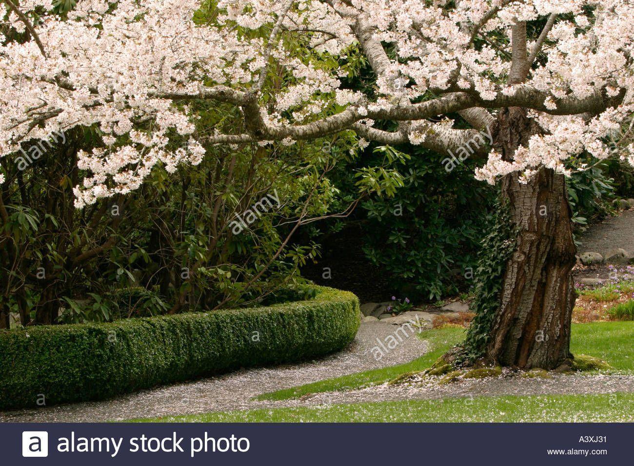 Cherry Tree In Bloom In Japanese Garden At Hatley Park Victoria British Columbia Bloom British Cherry Col Japanese Garden Garden Trees Ornamental Grasses