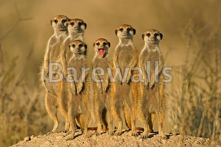 """Suricate (meerkat) family, Kalahari, South Africa"" - Animal posters and prints available at Barewalls.com"