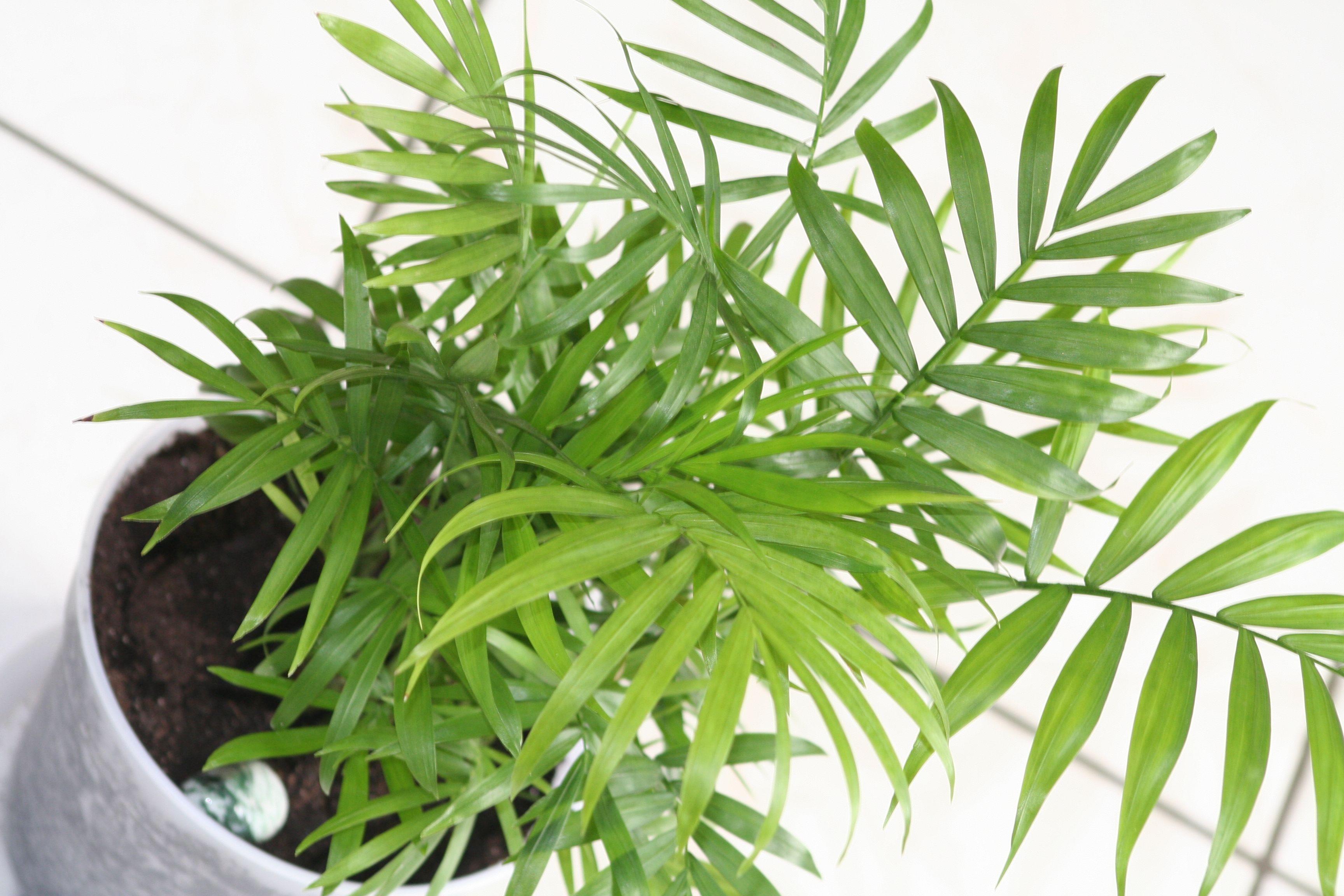8 Plantas De Interior Interesantes Por Sus Hojas Palmeras Sal N  ~ Plantas Que Limpian El Ambiente