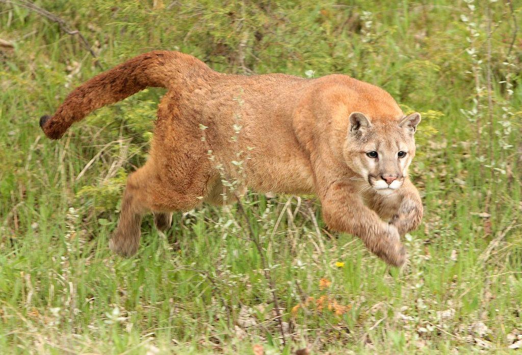 Wiki cougar