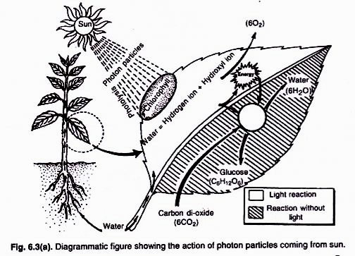 504x363 the process of photosynthesis in plants with diagram  504x363 the process of photosynthesis in plants with diagram