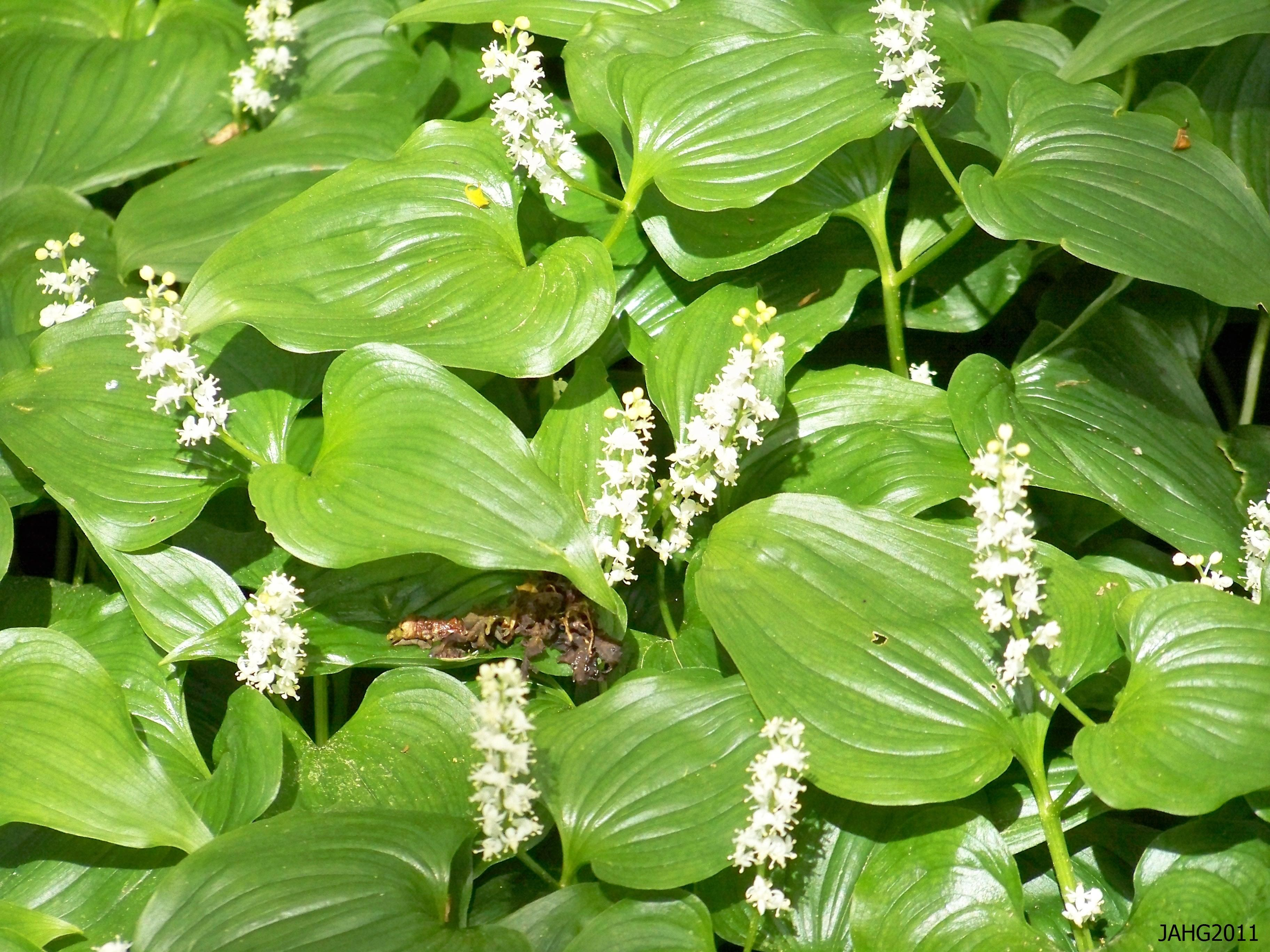 Maianthemum Dilatatum Wild Lily Of The Valley Is Now Is The Same