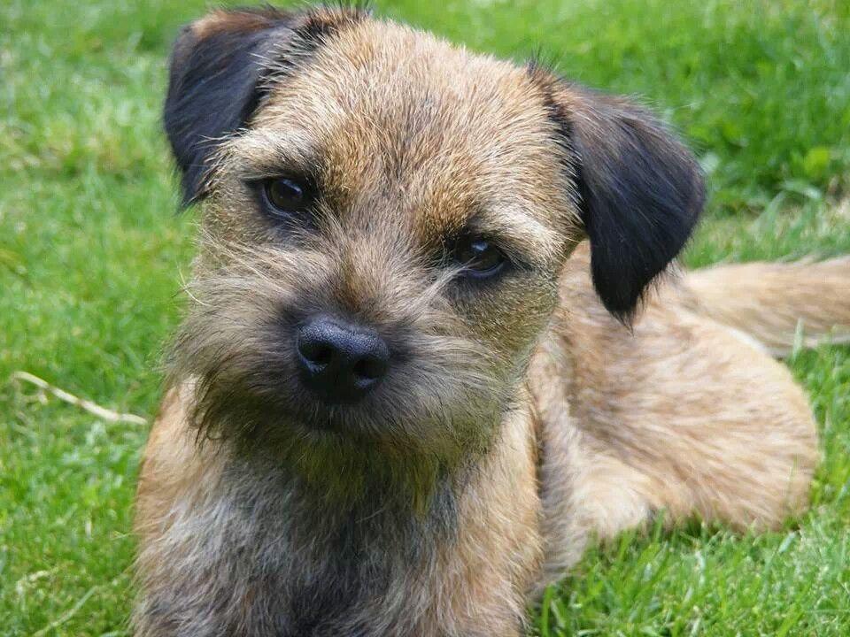 Very Cute Border Terrier Border Terrier Patterdale Terrier