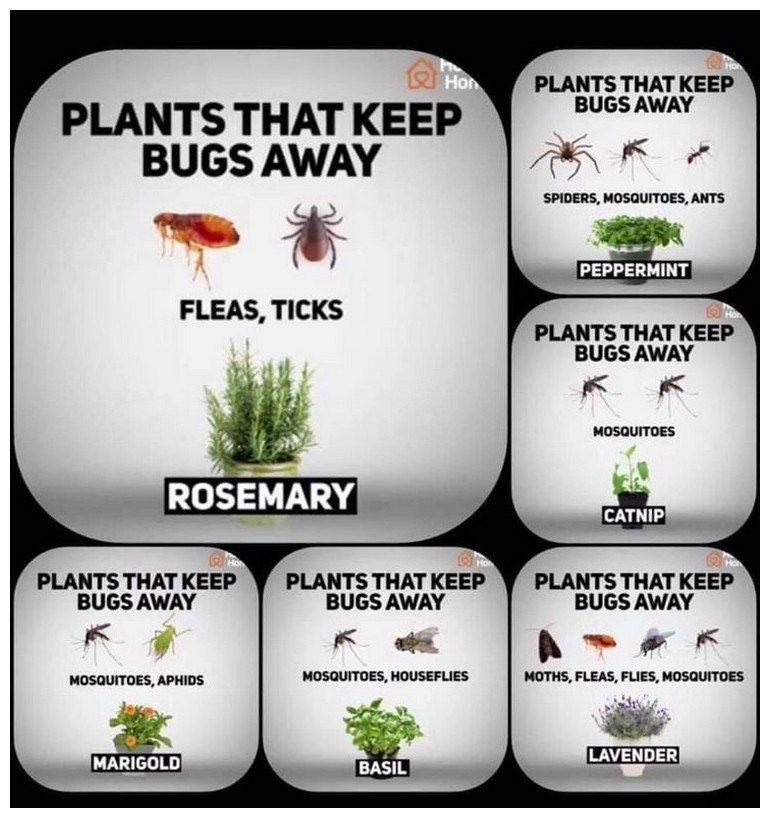 Fragrant Plants That Repel Mosquitoes
