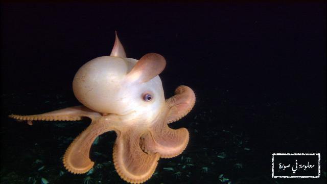 اخطبوط دمبو هو من أندر أنواع الأخطبوط كما أنه يعيش أكثرها عمقا حيث يسكن في الأعماق السحيقة بين 3000 و 4000 متر Dumbo Octopus Weird Animals Bizarre Animals
