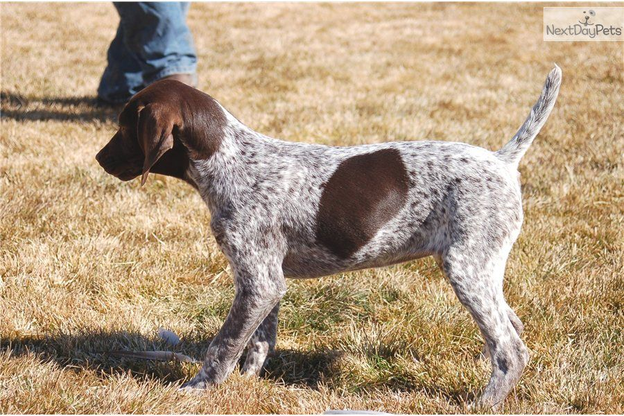 Meet Female A Cute German Shorthaired Pointer Puppy For Sale For