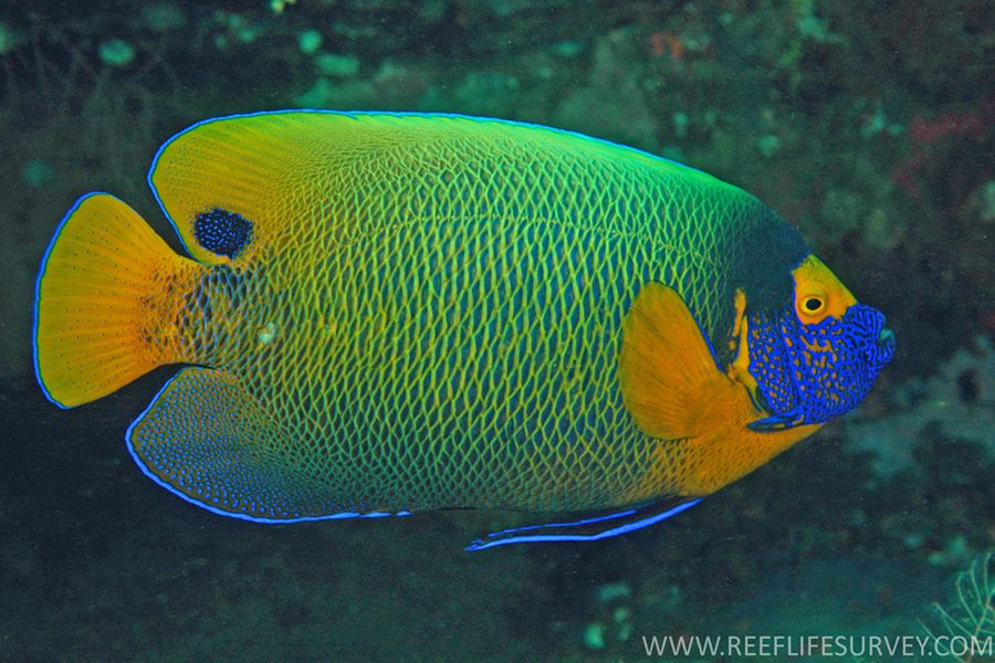 Blueface Angelfish Pomacanthus Xanthometopon Other Names Blue Face Angelfish Bluefaced Angelfish Yellow Face Tropical Fish Marine Fish Watercolor Animals