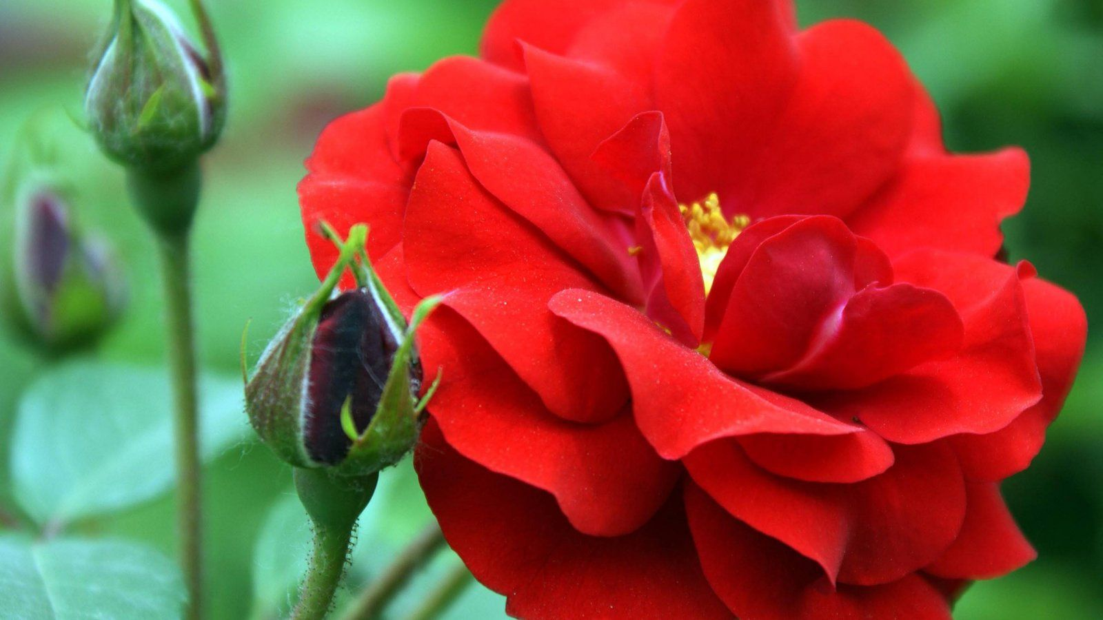 red chinese rose flower hd images 4k pinterest hd images