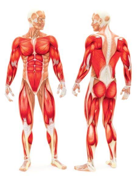 Quels sont les muscles sollicités lors de l'utilisation d'un rameur? - Capsule santé | Health Briefs - What muscles are you exercising when you use a rowing machine?
