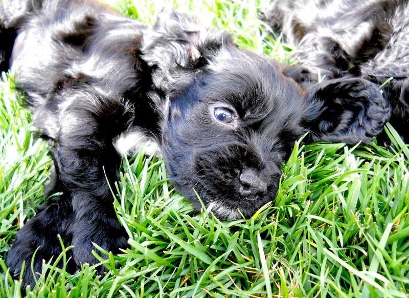 Little Boy Puppy Cockerspaniel Cocker Spaniel Dogs Rescue Dogs