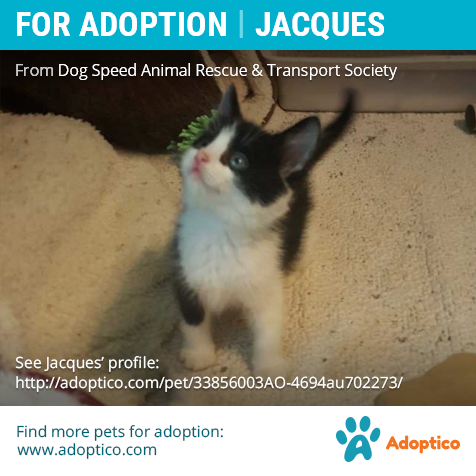 Adorable Pet Jacques On Cat Adoption Cute Animals Pet Adoption