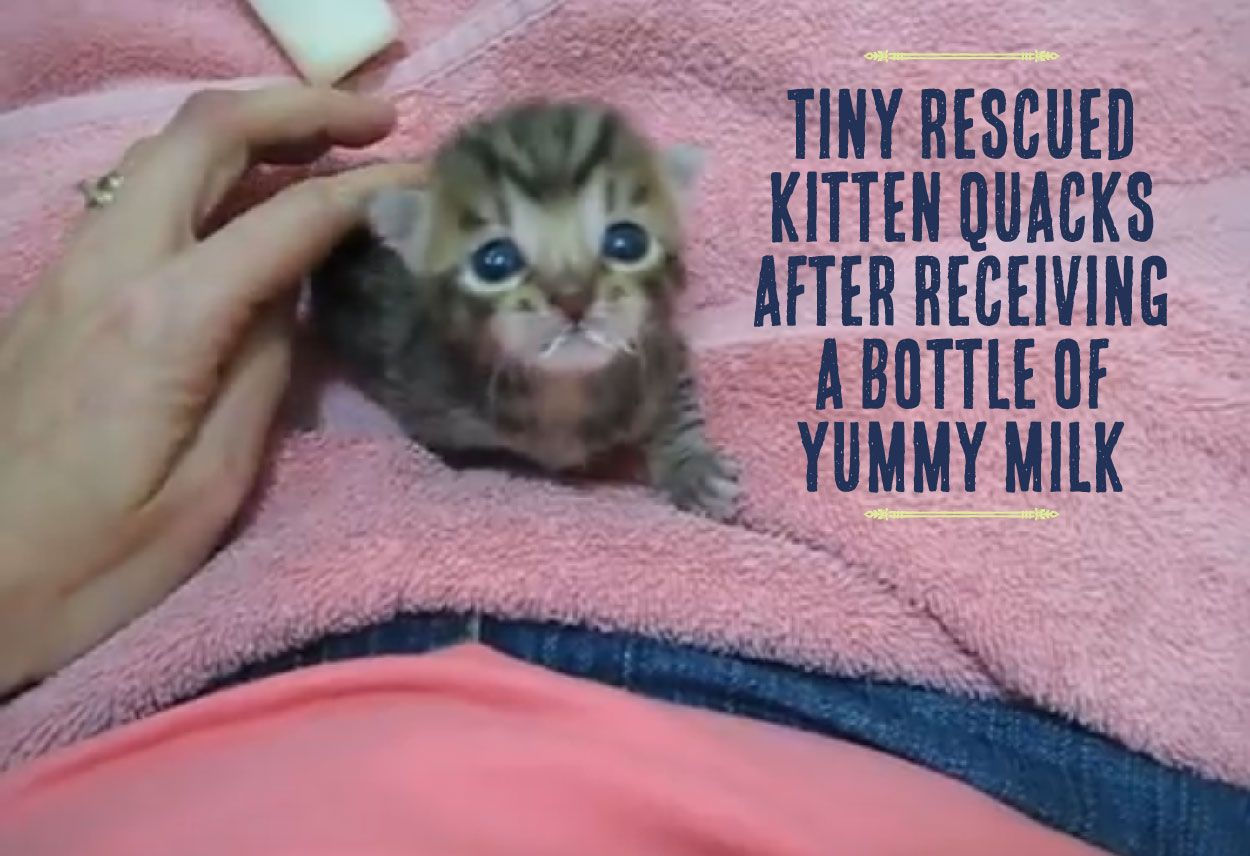 Tiny Rescued Kitten Quacks After Receiving A Bottle Of Yummy Milk 3 Cuddly Animals Cute Funny Animals Kitten