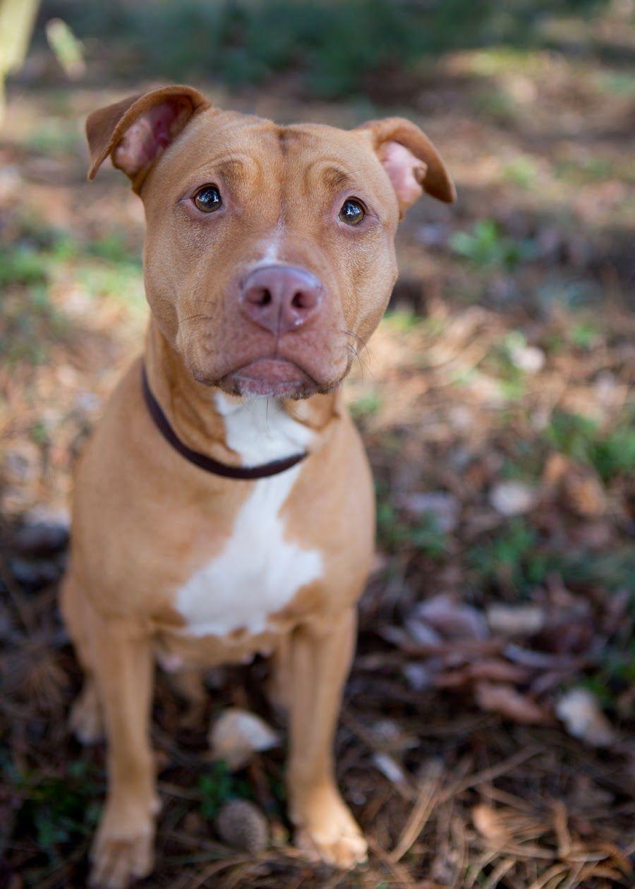 Tan Pitbull Pitbull Puppies Tan Pitbull Cute Dogs