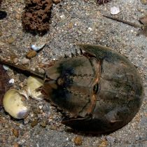 Horseshoe crab - a specie that's over 400 million years old