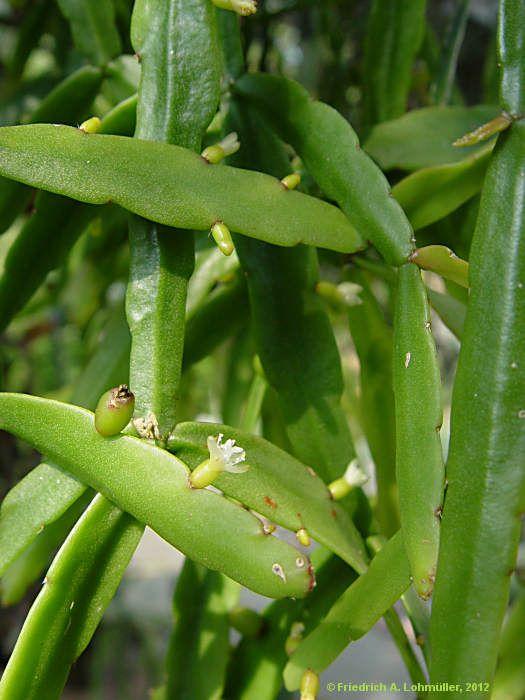 rhipsalis micrantha h ngepflanzen wohnung pinterest pflanzen und h ngepflanzen. Black Bedroom Furniture Sets. Home Design Ideas
