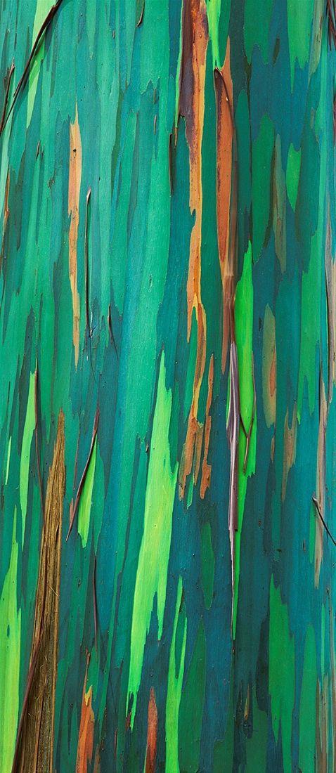 Painted Bark Eucalyptus Maui Hawaii Photograph At Williamneillphotography
