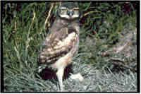 wildlife of colorado | Populations are presently declining in Colorado, and in some areas ...