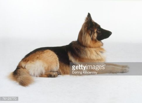 German Shepherd Dog Lying Down Head Raised Paws Out Front Side