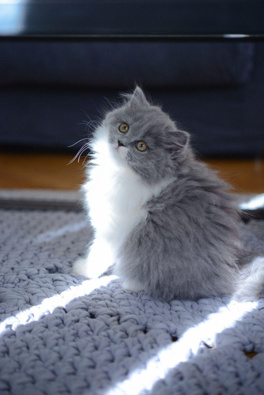 Mon Parcours De Maman Chat Chaton British Longhair Des British Du Clos D Eugenie Gris Bicolore Bleu Et Blanc Elevage De Briti Pretty Cats Cats Beautiful Cats