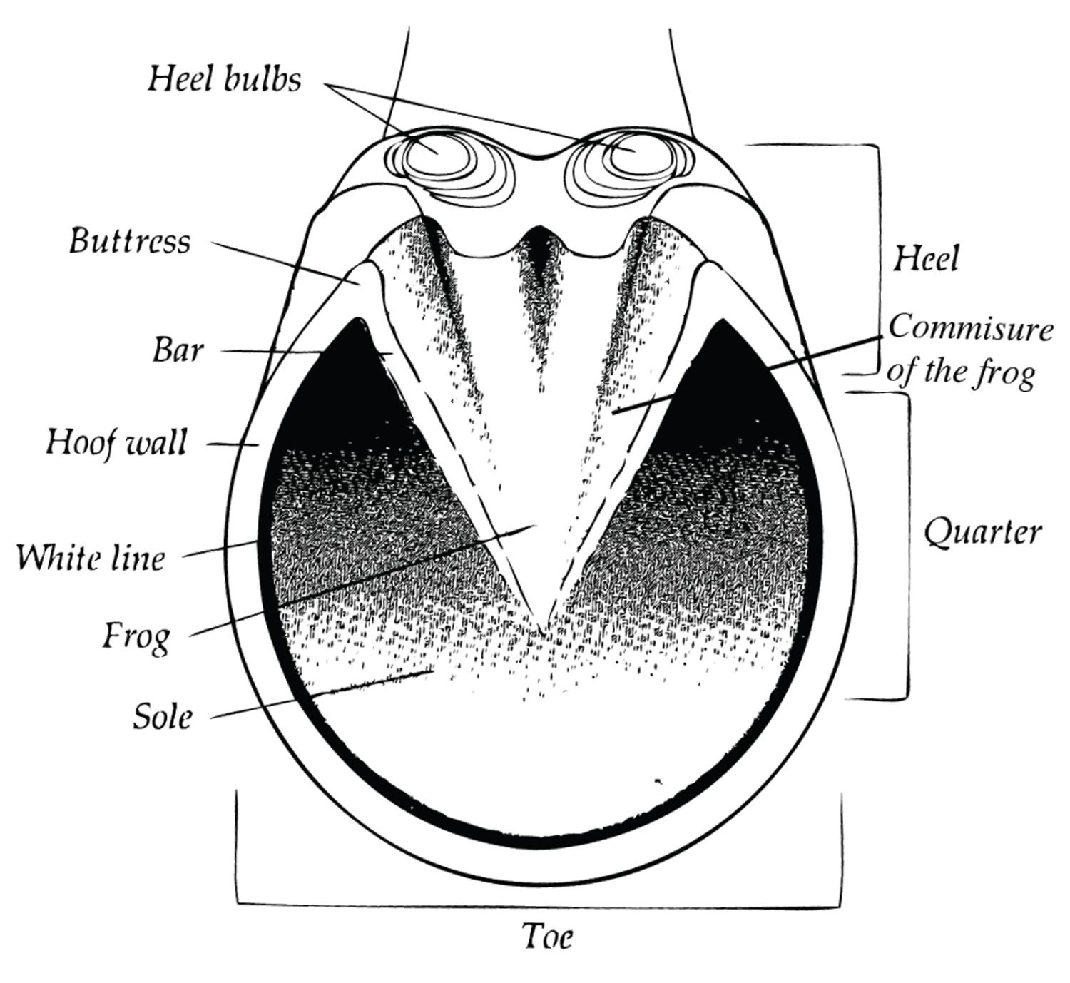 diagram of the parts of the equine hoof showing heel bulbs diagram of horse hoof heel bulb [ 1500 x 1378 Pixel ]