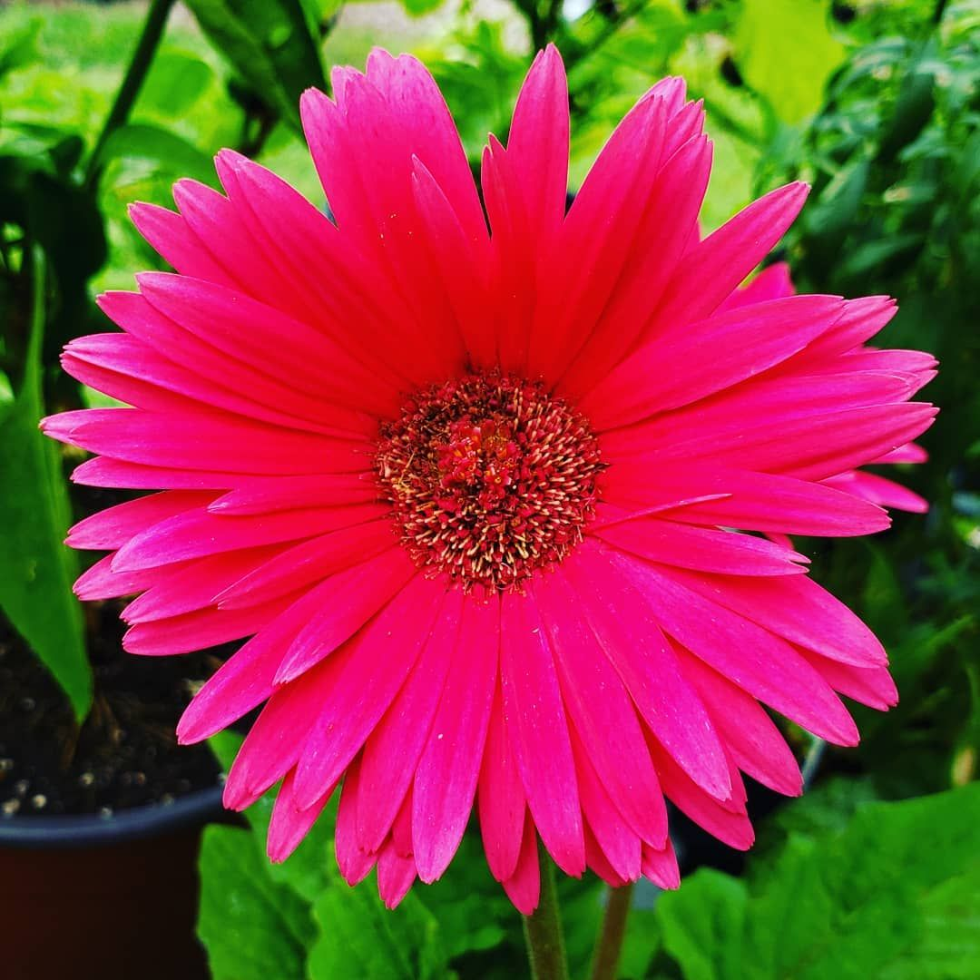 The Last Of The Gerbera Daisies For The Season Not To Be Confused With The Gerber Brand Of Infant Food Daisy Ge Plant Nursery Garden