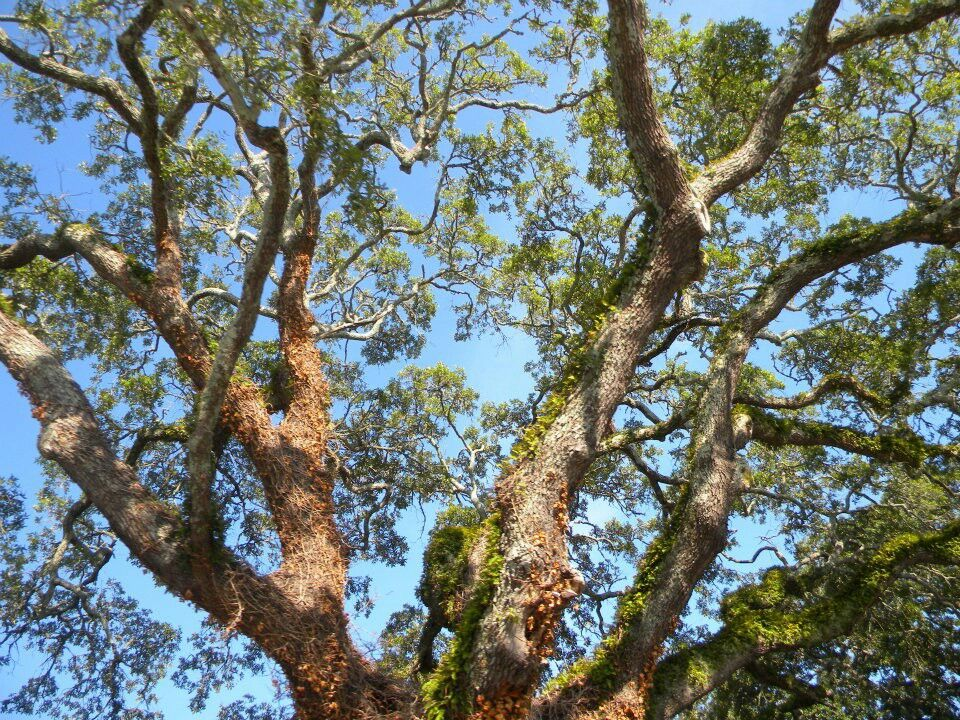 Live Oak tree with ferns, coastal North Carolina