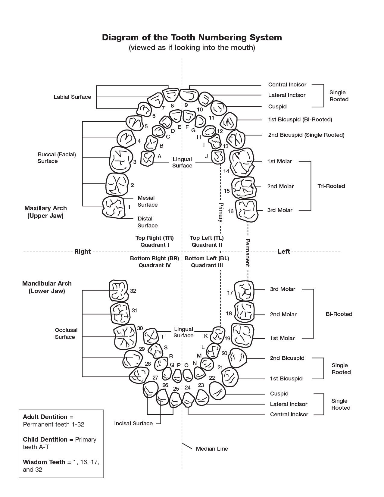 Tooth Numbering Chart PDF | scope of work template | Dental