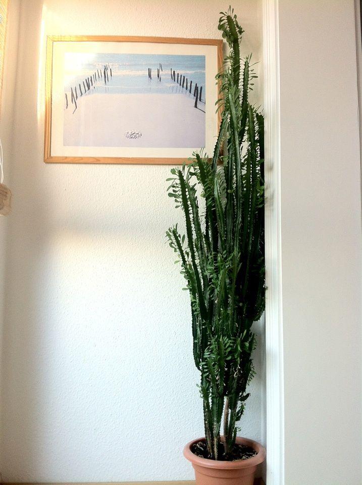 Wolfsmilch Zimmerpflanze Dreikantige Wolfsmilch Euphorbia Trigona