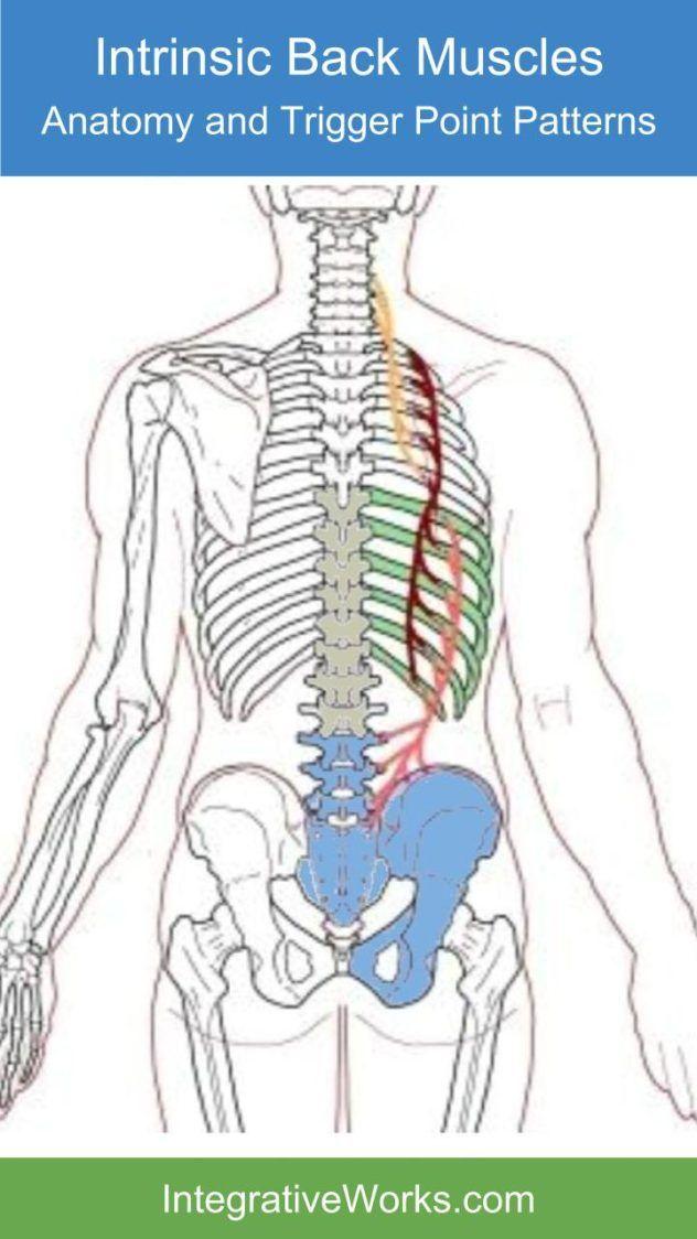 Quadratus Lumborum – Functional Anatomy   Muscles