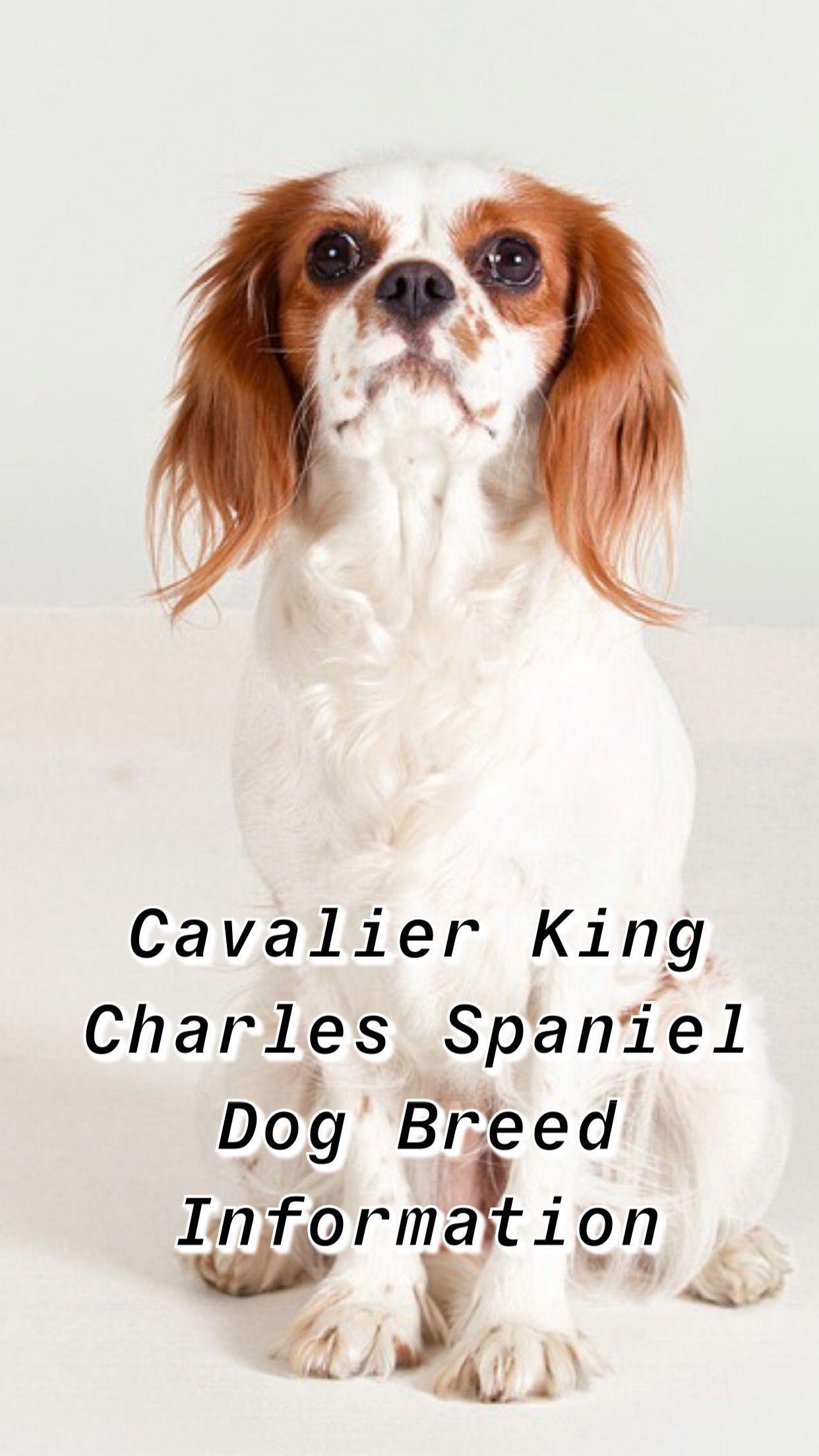 King Cavalier Cavalier King King Charles Spaniel Cavalier Cavalier King Charles King Charles Cavalier Spaniel Puppy Cavalier King Charles Dog King Charles Dog