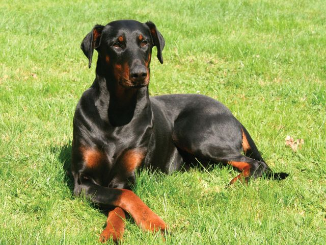 Which Dog Breed Do You Look Like Doberman Pinscher Puppy