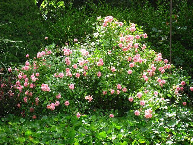 The Fairy polyantha rose Botanical gardens, Rose, Garden
