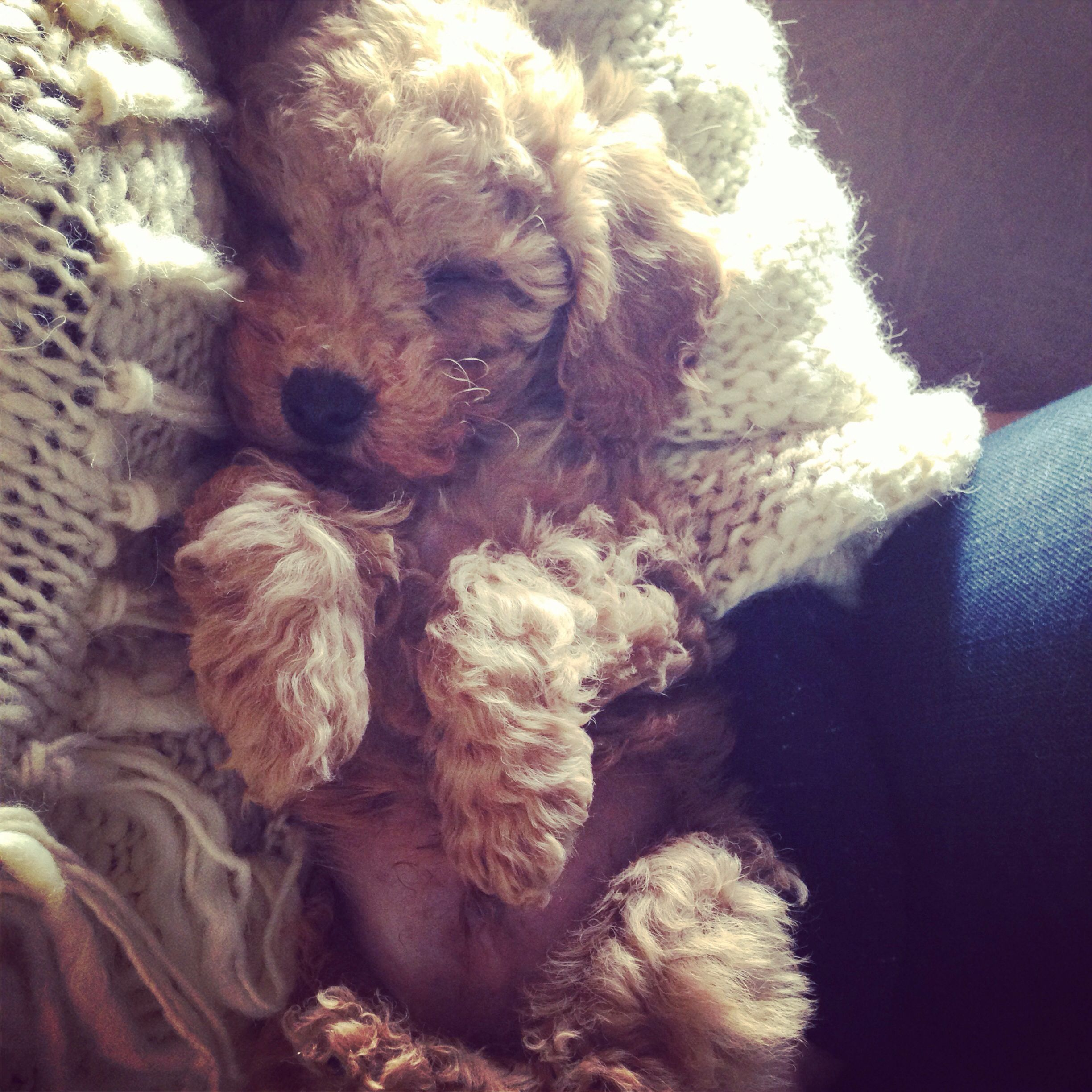 Vicious Circle Poodle Puppy Puppies Cute Dogs
